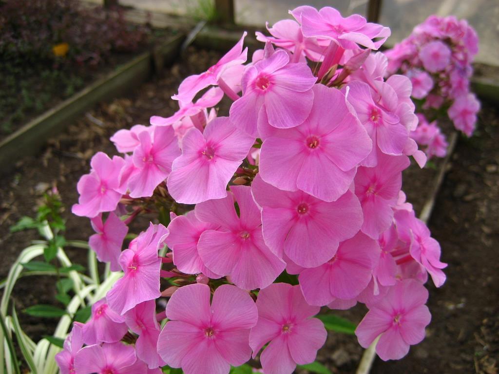 Цветы и клумбы: Флоксы выращивание из семян (однолетние и многолетние)