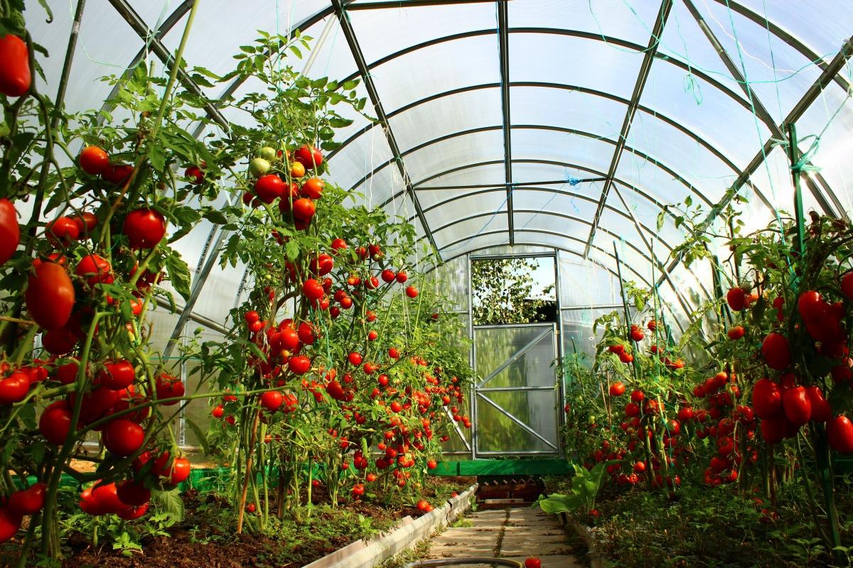 Огород: Блог дачника. Victoria: Детерминантные и индетерминантные сорта томатов