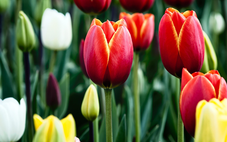 Цветы и клумбы: Как вырастить тюльпаны из семян