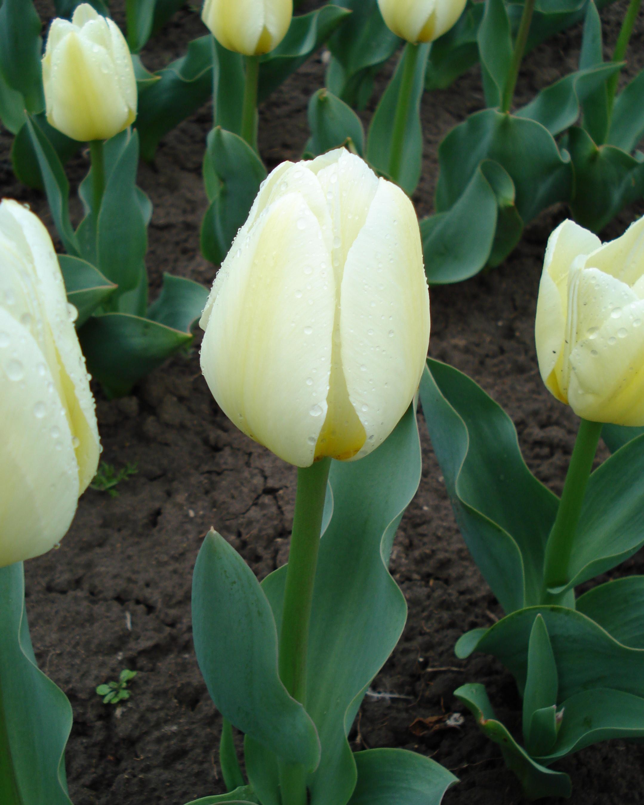 Тюльпаны цветов с названиями 14