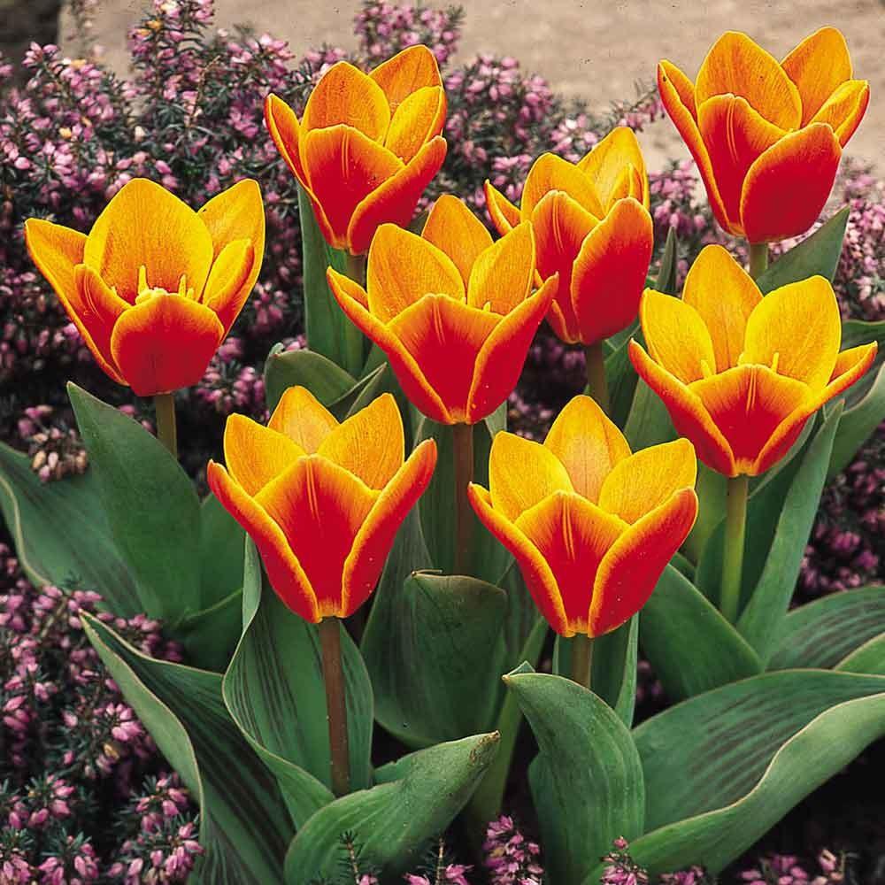 Тюльпаны цветов с названиями 52