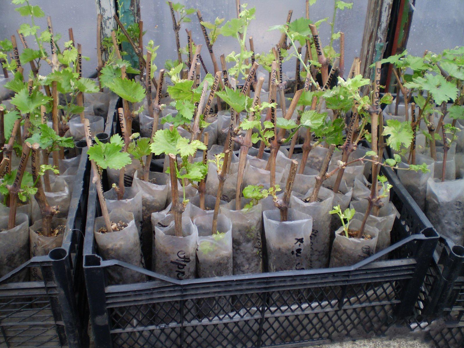 Сад: Выращивание винограда черенками