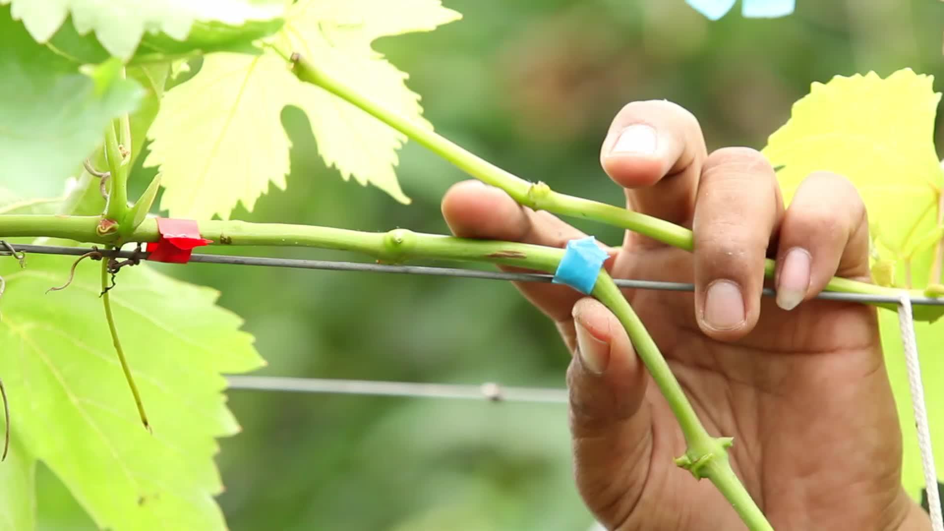 Сад: Прививка винограда - способы и сроки