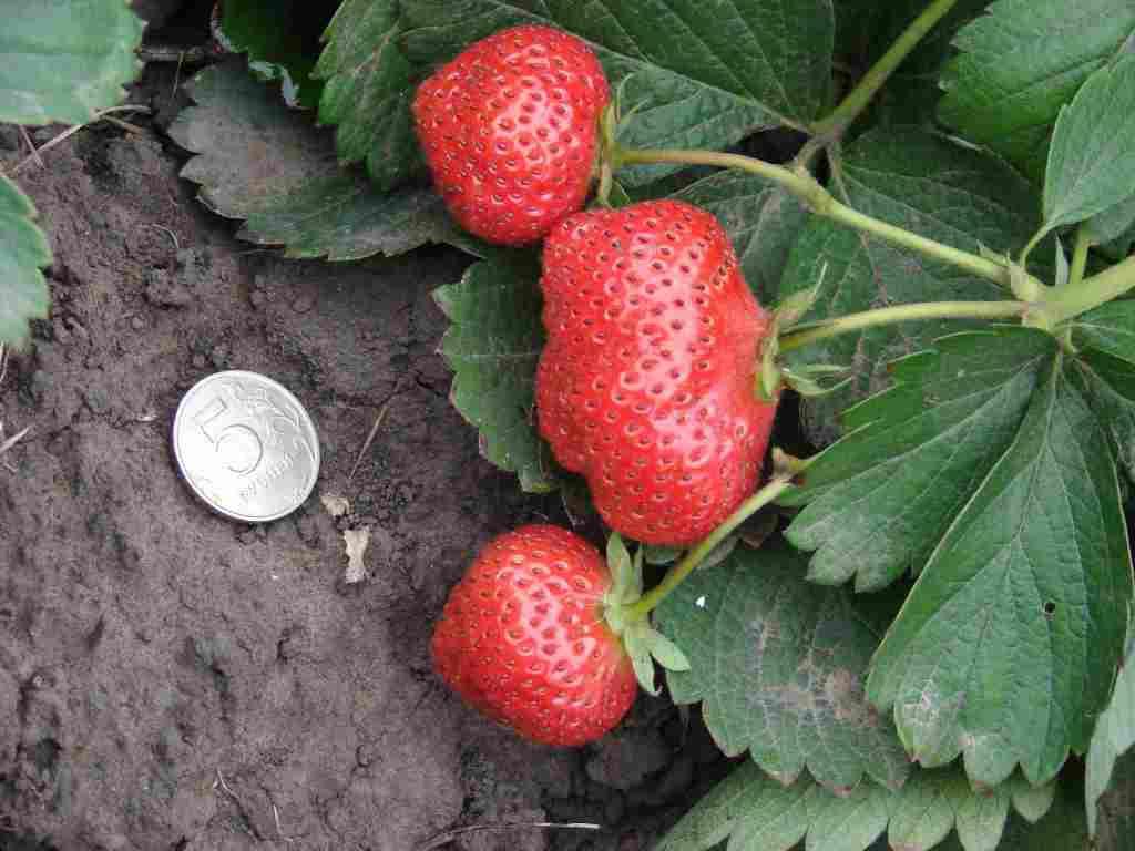 Сад: Сорта клубники - фото с описанием