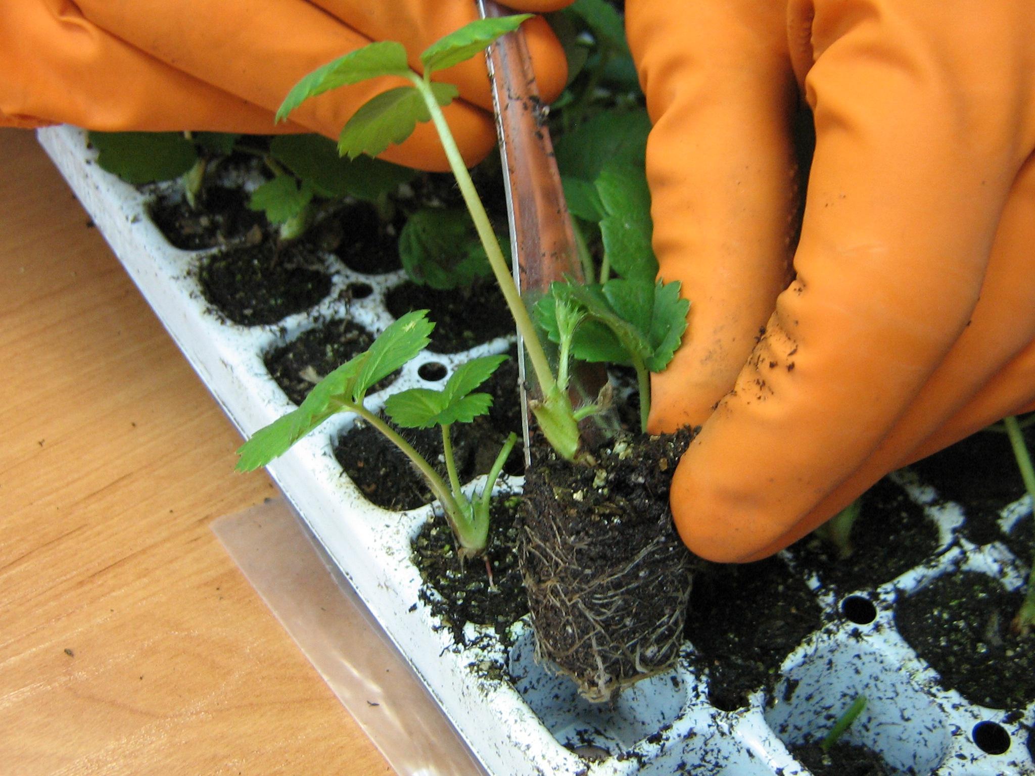 Сад: Выращивание клубники из семян