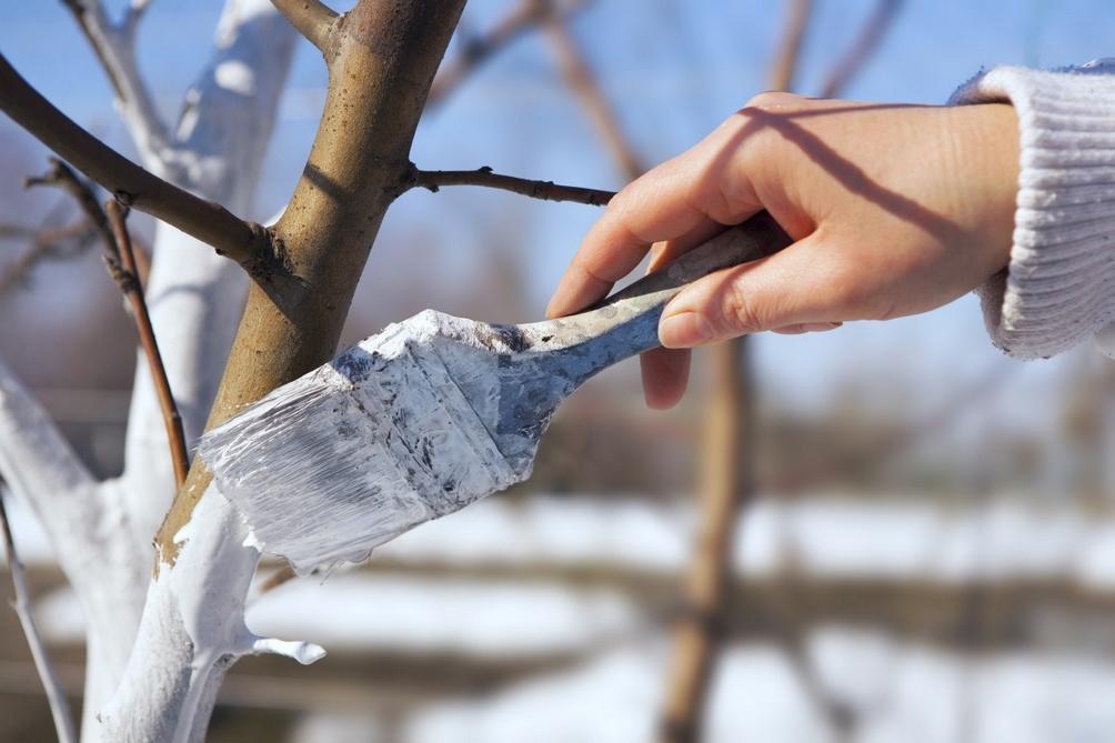 Сад: Как ухаживать за яблоней