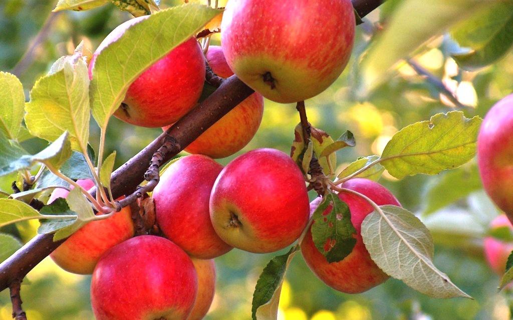 Сад: Как и когда посадить яблоню