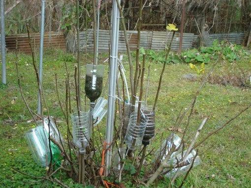 Сад: Укоренение воздушными отводками
