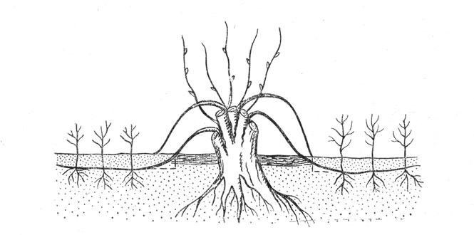Сад: Горизонтальные отводки
