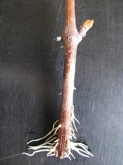 Сад: Укоренившийся одревесневший черенок