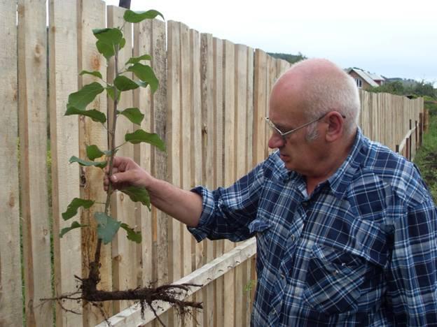 Сад: Отводок яблони
