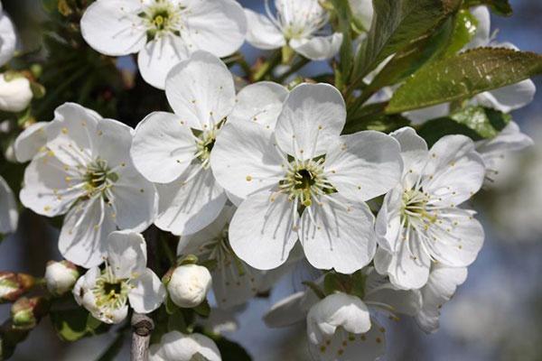 Сад: цветение вишни