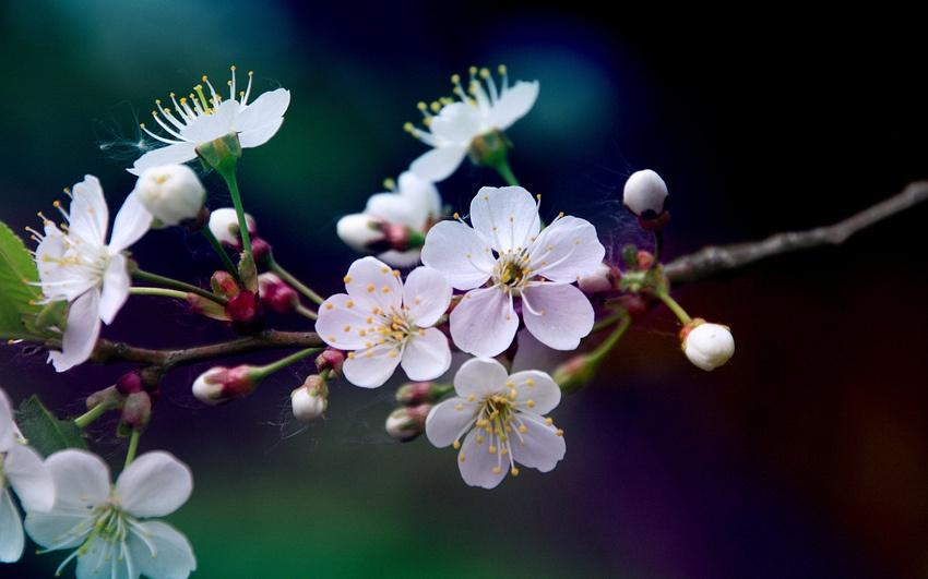 Сад: Как и когда цветет вишня