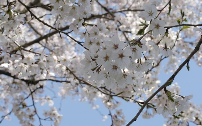 Сад: вишня цветет