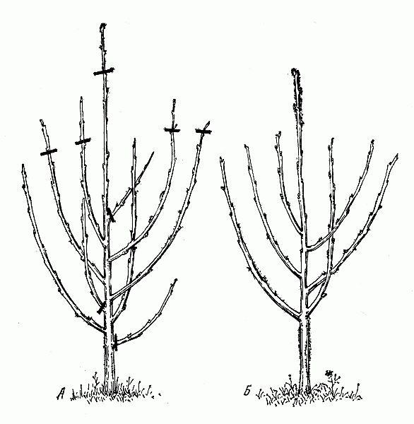Сад: Формирование кроны вишни