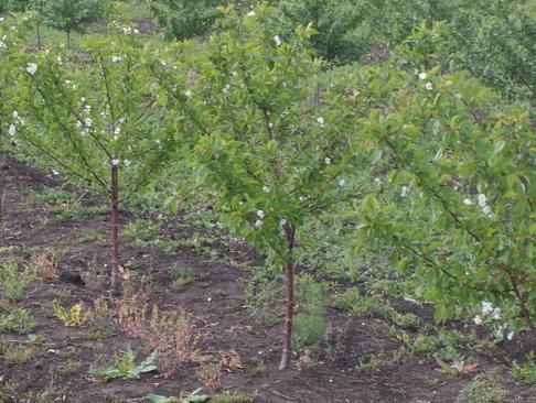 Сад: Саженец вишни
