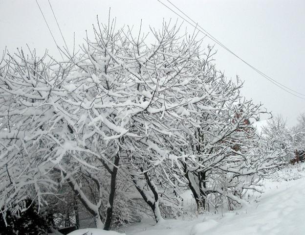 Сад: Вишня зимой
