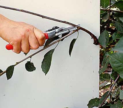 Сад: вишня обрезка