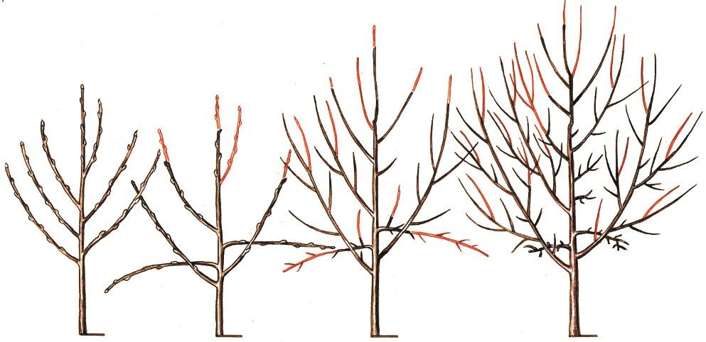 Сад: Разреженно-ярусная крона