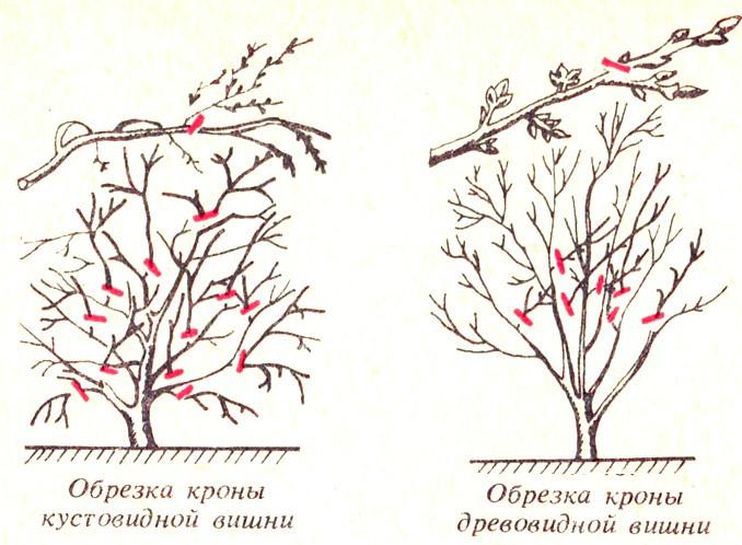 Сад: Обрезка кустовидной и древовидной вишни