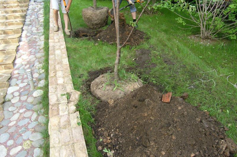 Сад: Посадка вишни