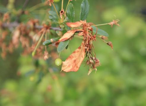 Сад: Монилиоз вишни