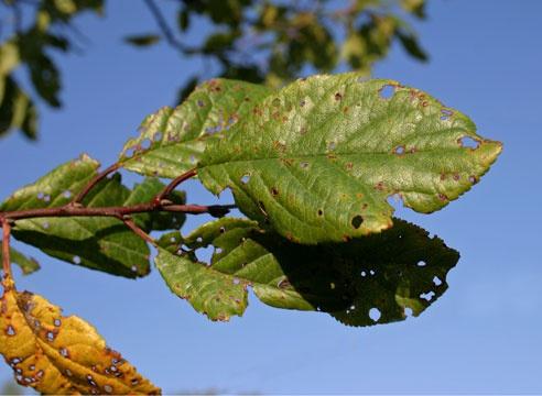 Сад: Клястероспориоз вишни