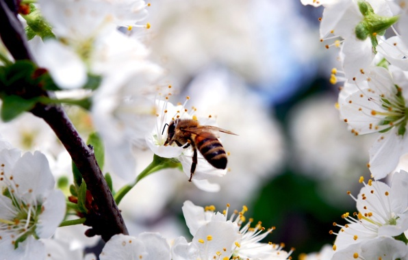 Сад: Опылители вишни