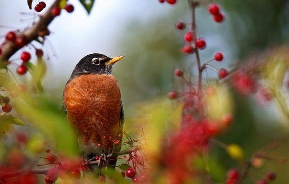 Сад: Птицы-помощники вишни