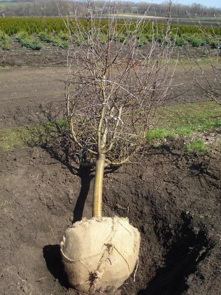 Сад: пересадка вишни