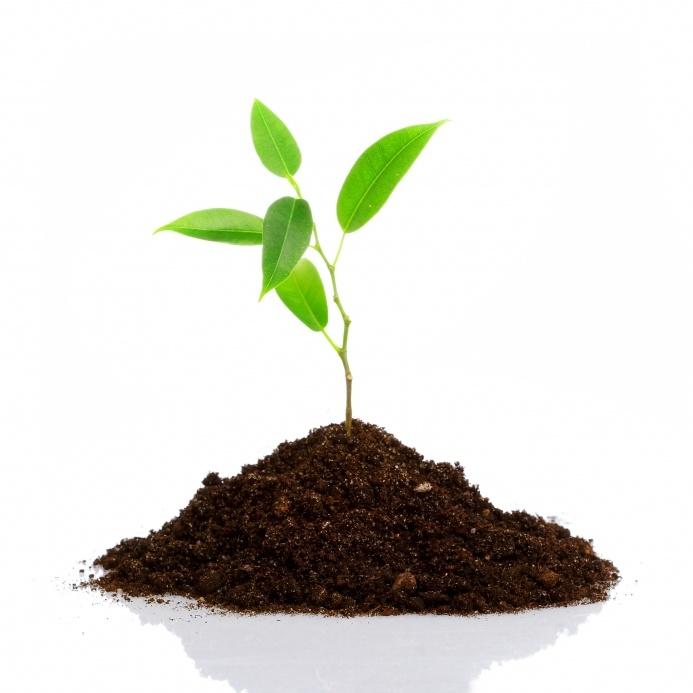 Сад: Вишня росток