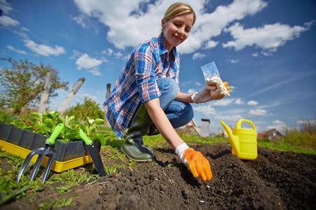 Огород: Посадка свеклы семенами