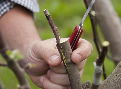 Сад: совместимость вишни