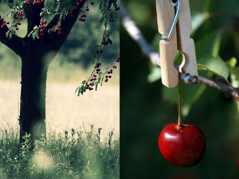 Сад: Прививка вишни