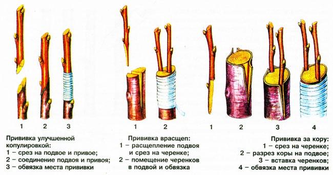 Сад: Способы прививки вишни