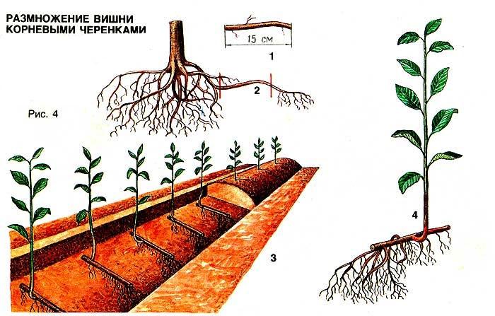 Сад: размножение вишни корневыми черенками