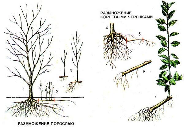 Сад: Размножение вишни