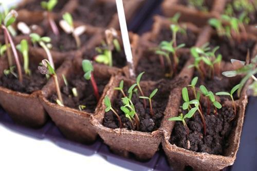 Огород: Проращивание свеклы