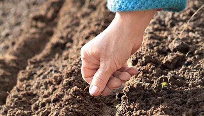 Огород: Посадка семян свеклы