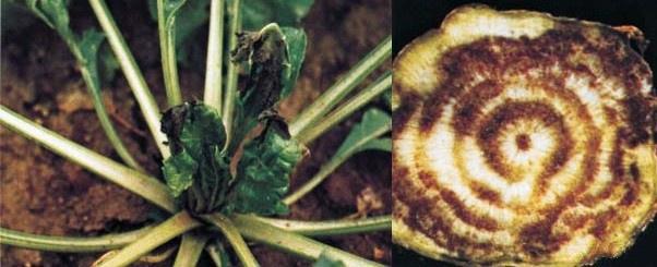 Огород: Дефицит кальция у свеклы