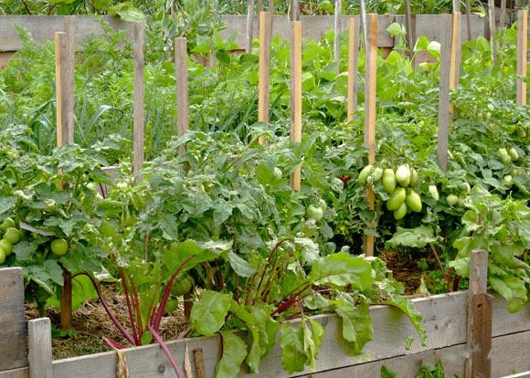 Огород: Смешанные посадки: томат и свекла