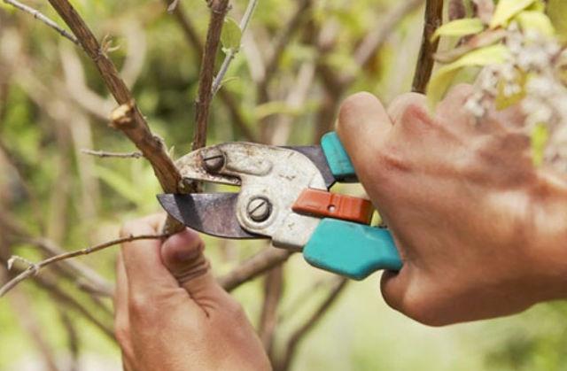 Сад: Обрезка вишни