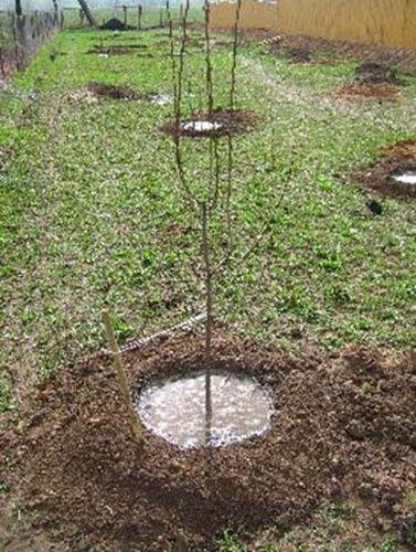 Сад: Полив вишни