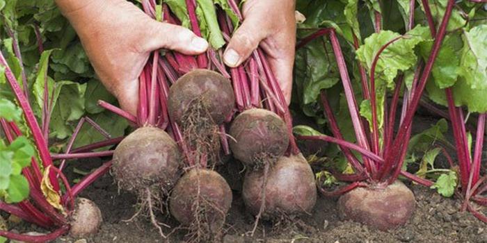 Огород: Сбор урожая свеклы