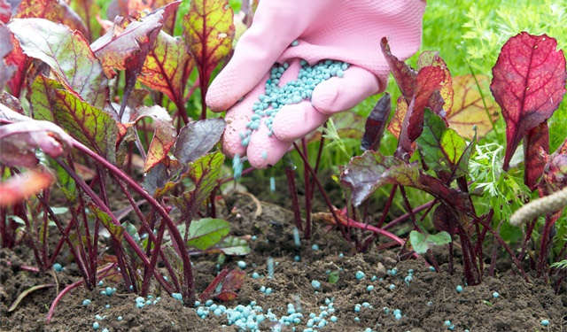 Огород: Удобрение свеклы
