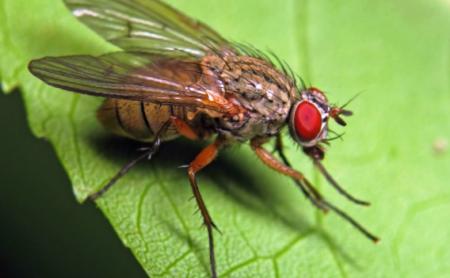 Огород: Свекловичная муха