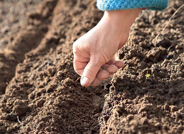 Огород: Подзимний посев свеклы