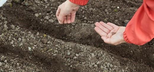 Огород: Как посеять свеклу