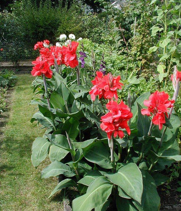 Цветы и клумбы: Канна садовая
