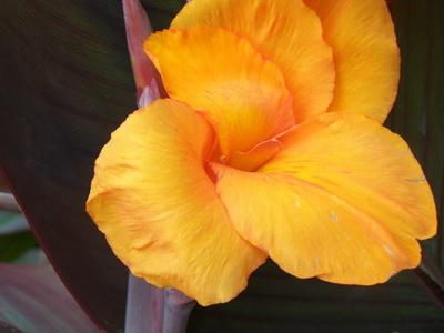 Цветы и клумбы: Канна Анденкен ан Пфитцер